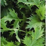 Oriental Brassica Salad - Mizuna is a very special winter salad. Dark green, glossy, jagged leaves, ideal for a mixed salad.