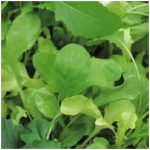 Oriental Brassica Salad - Salad Rocket 'Victoria'