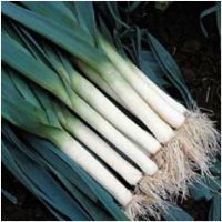 Leek - Bluegreen Winter