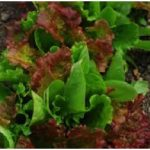 Lettuce, Batavia - Red & Green Mix