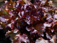 Lettuce - Red Salad Bowl