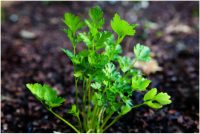 Parsley, Flat Leaf - Italian Giant