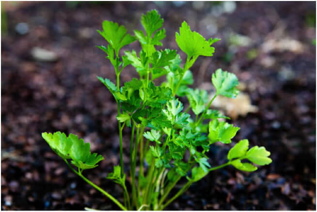 Facts About Parsley Seeds Revealed