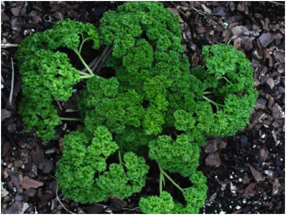 1,000 Parsley Seeds Moss Green Curled 2020 Seeds     Curled Parsley