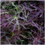 Oriental Brassica Salad - Mustard 'Red Frills'