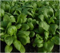 Spinach, Annual - Corvair F1