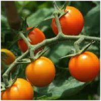 Tomato - Sungold F1