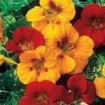 Nasturtium - edible flower