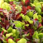 Microgreens - Gourmet Mix
