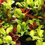 Microgreens Mild Mix