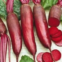 Beetroot Cylindra