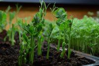 Microgreen Pea Shoots