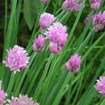 Chives selected by Klaus Laitenberger