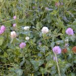 Crimson, white and red clover mix