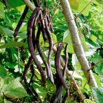 Climbing French Bean Blauhilde