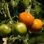 Tomato - Aunt Ruby's